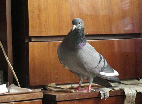 Портрет голубя-сизаря по кличке Кира. Фотографии голубя