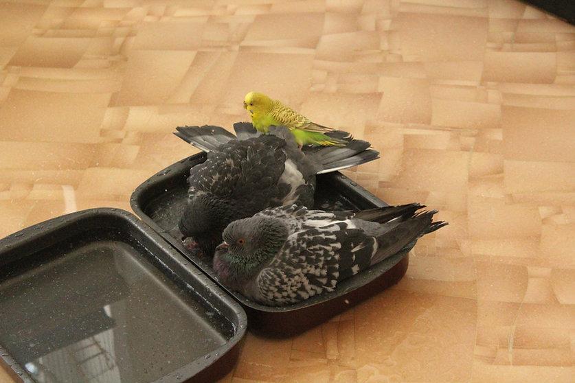 Блог о голубях. Голуби в квартире. Голуби и попугай купаются