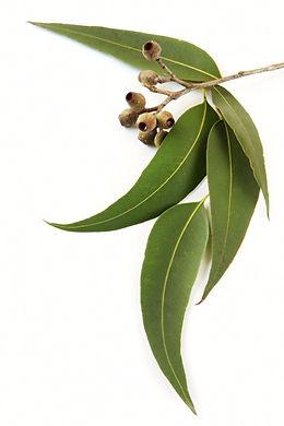 Klicker Fokus - Nose Work, eukalyptus, hundkurser, Nacka & Värmdö