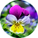 Wild Pansy  Hydrolyzed Viola Tricolour E