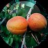 Apricot Kernel Oil Prunus Armeniaca.png