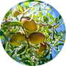 Argan Oil Argania Spinosa Kernel Oil.png