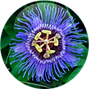 Passion-Flower-150x150.png