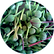 Extract-From-Caper-Buds-150x150.png