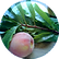 Peach-leaves-150x150.png