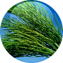 Horsetail-Extract-18.01.2016-150x150.png