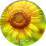 SUNFLOWER-OIL-CONCENTRATE-HELIANTHUS-ANN