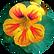 Nasturtium Tropaeolum Majus Flower Leaf