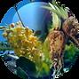 Chicory Root & Tara Tree