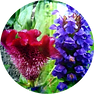 HYDROLYZED CELOSIA CRISTATA FLOWER