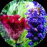 HYDROLYZED CELOSIA CRISTATA FLOWER