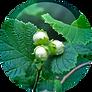 Hazelnut seed Oil Corylus Avellana.png