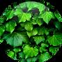 Hedra-Helix-Ivy-Extract-18.01.2016-150x1