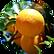 Bitter Orange Extract Citrus Aurantium A
