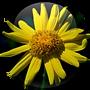 Arnica-Montana-Flower-18.01.2016-150x150