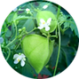 Balloon-Vine-Extract-150x150.png