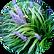 Japanese Lilyturf  Ophiopogon Japonicus