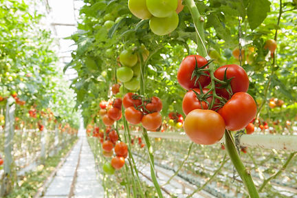 Indoor tomatoes