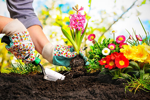 Gardeners hands planting flowers at back