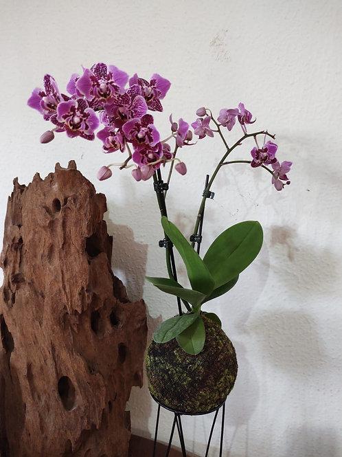 Kokemada - Lilás