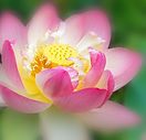 bigstock-Lotus-flower-83125844.jpg