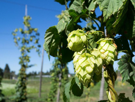 On the Road to Berlin: Exploding Hops