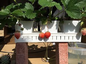 イチゴの実