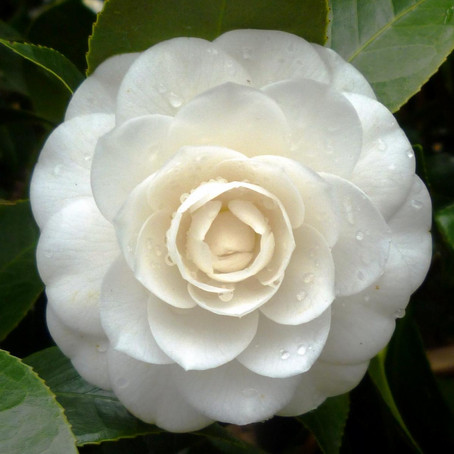 Do You Know the Flower Meaning of Camellia?  你知道山茶花的花語嗎