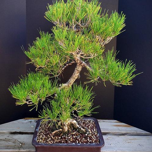 Japanese Black Pine #51