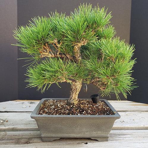 Japanese Black Pine #60