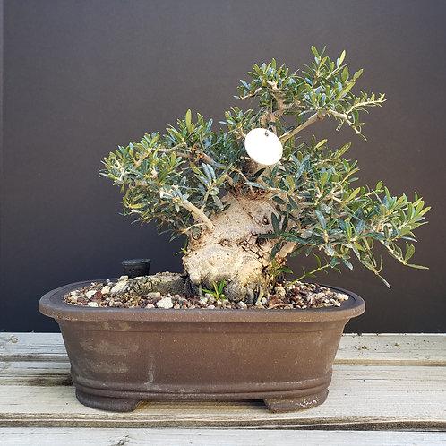 Sumo Shohin Olive #88