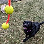 labrador retriever with fidozoom dog toy