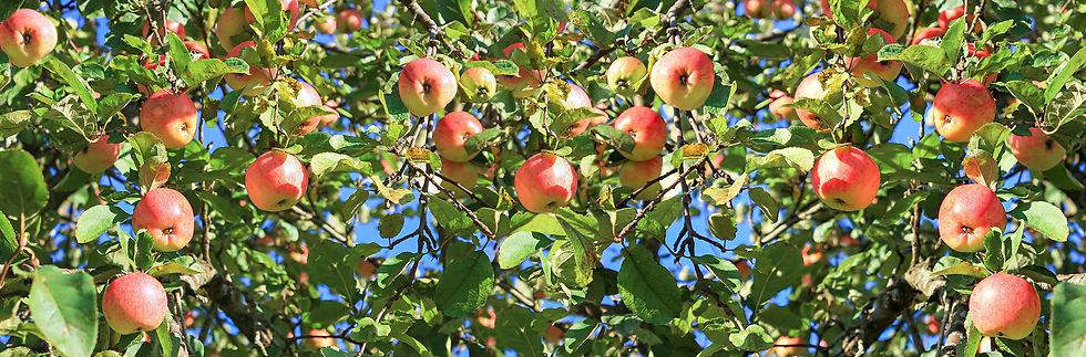 Apples-in-a-Tree.jpg