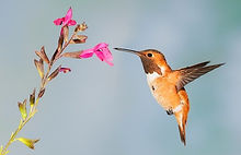 Hummingbird by Fred Prose.jpg