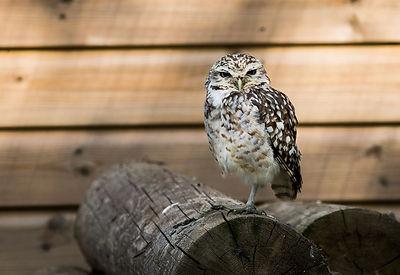 Tilgate Owl