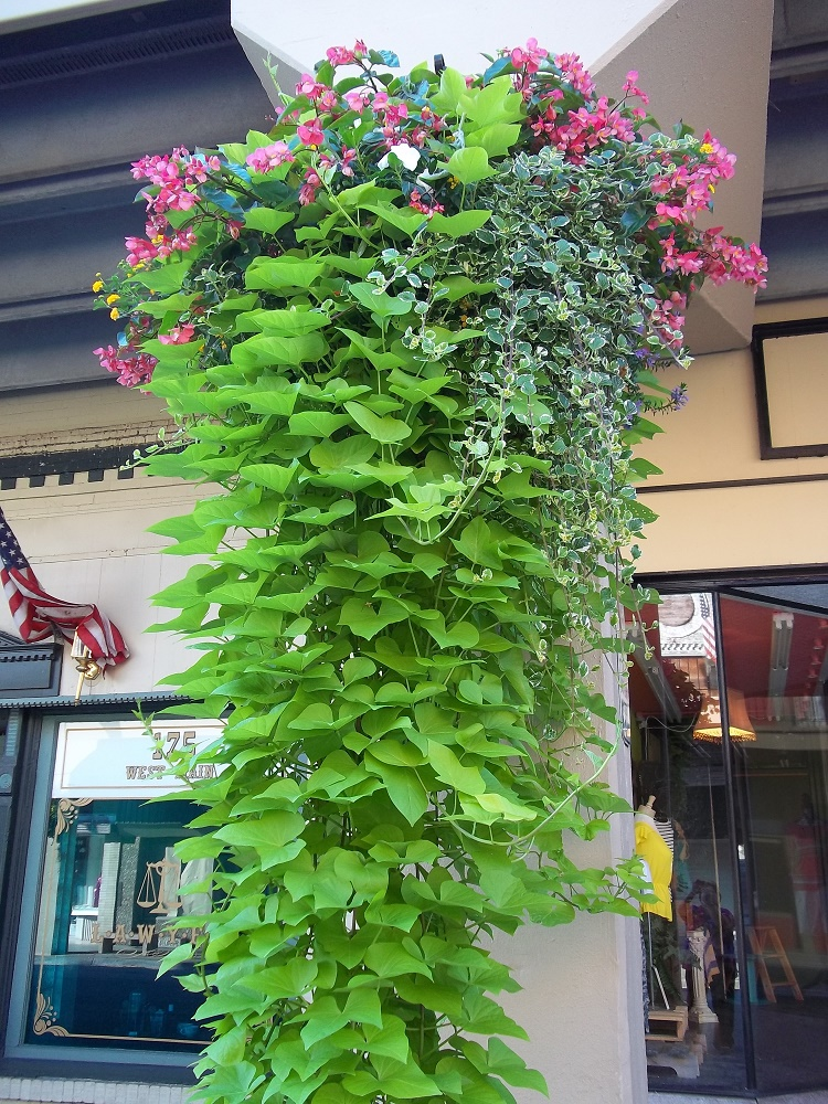 One of the beautiful hanging baskets
