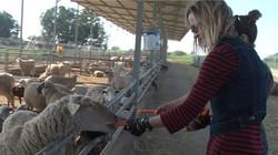 Sheep Farm - 4