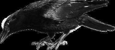 crow looking left.png