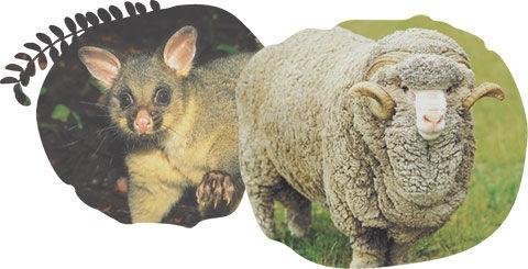 possum-and-merino_web_02.jpg