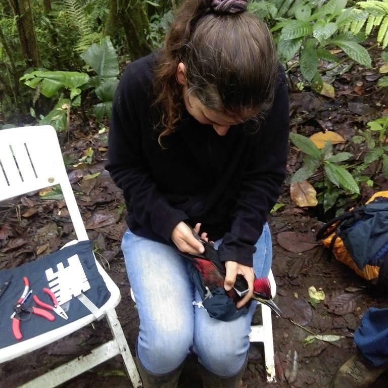 Measuring the female Crimson-bellied Woodpecker