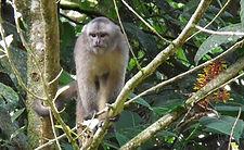 Kapuzineraffe im Naturreservat in Ecuador Südamerika.