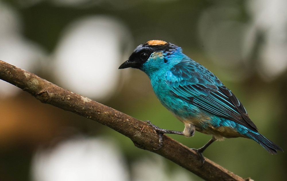 Nicole's favourite Tanager in Mashpi, the Golden-naped Tanager