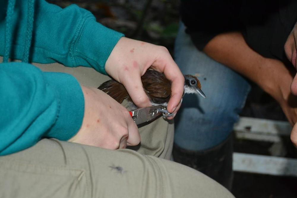 Caroline banding a Bicolored Antbird