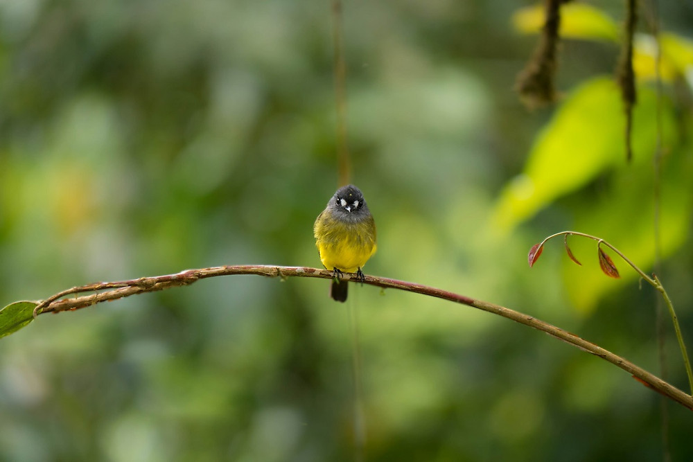 A cute Ornate Flycatcher