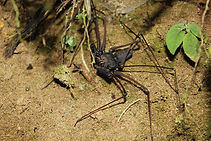 Whip spider in nature reserve and biological station in Ecuador South America