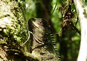 Besucher können Zwergiguanas beobachten im Naturreserve Un poco del Chocó in Ecuador Südamerika.