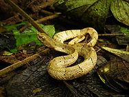 Pitviper in nature reserve and biological station in Ecuador South America