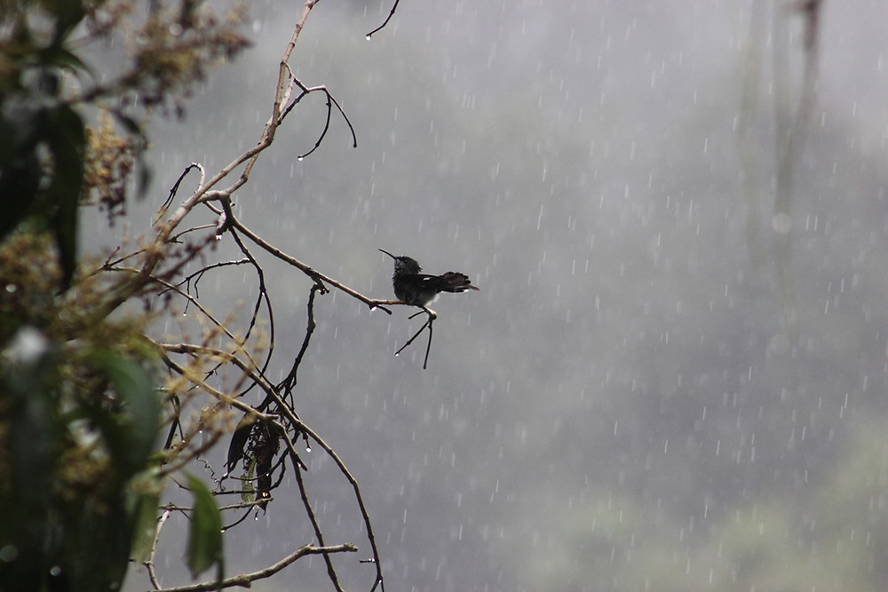 A hummingbird in the afternoon rain