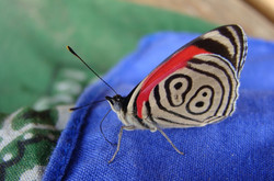 Lepidopteran Project
