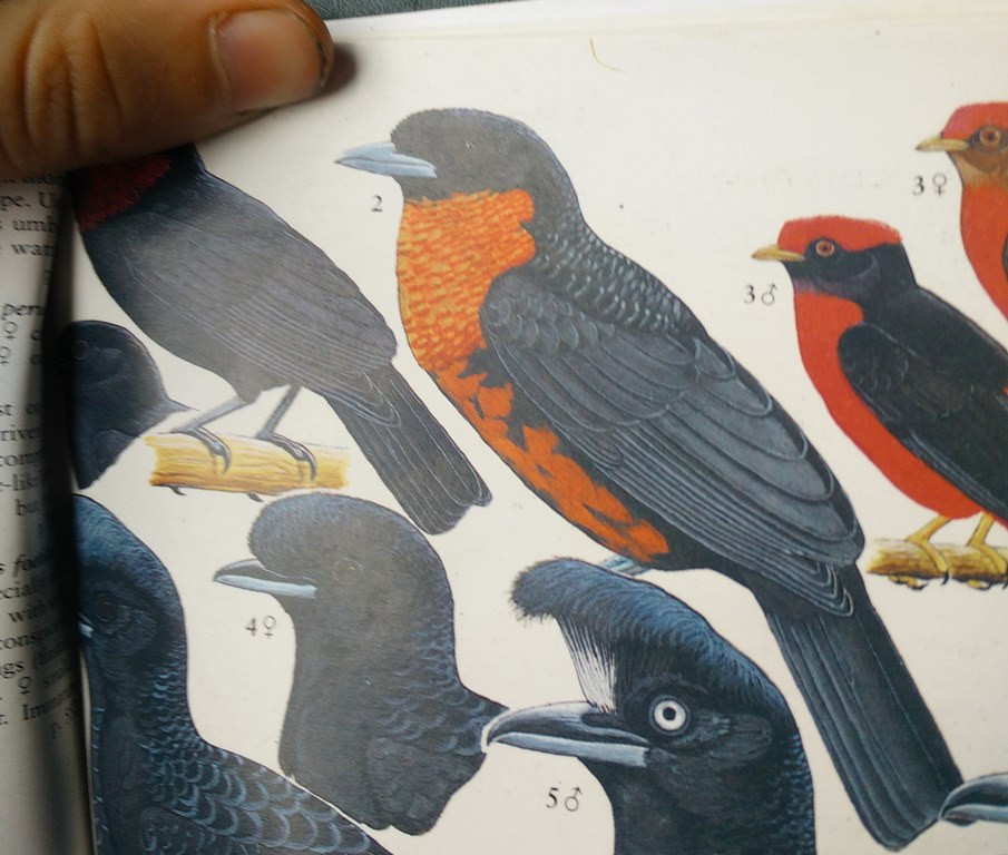 Red-ruffed Fruitcrow, the target species in Chilma Bajo